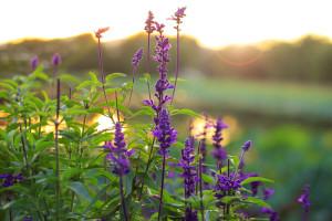 dreamstime_lavender