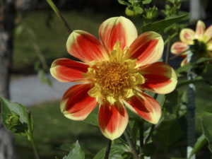 resized-halifax-flower